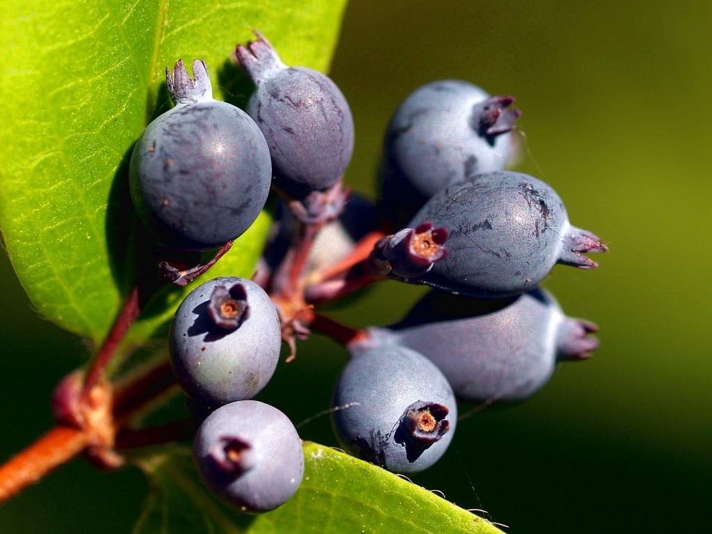 Amerikanische Lonicera, Geißblattgewächse Fruchtstand, hier blaue Früchte
