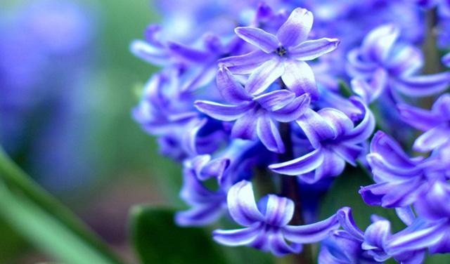 Гиацинт-цветок-дождя