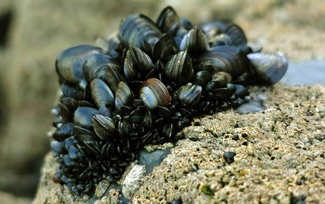 Blue_mussel_clump