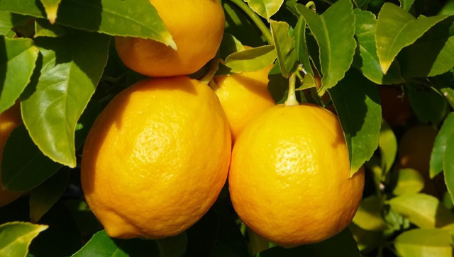 kak_virastit_limon