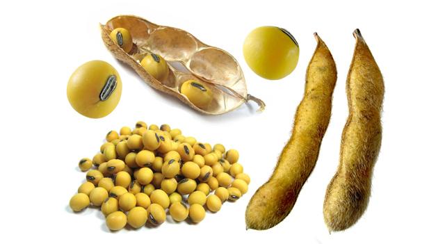Soy bean kit